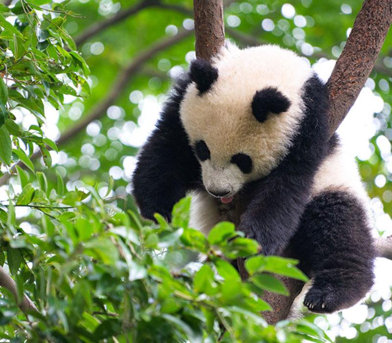 7天 四川熊猫之乡